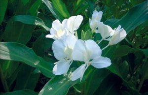 national-flower-cuba